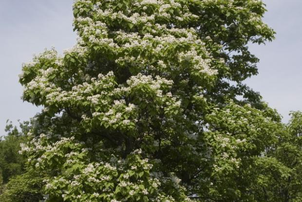 Southern Catalpa Space For Life