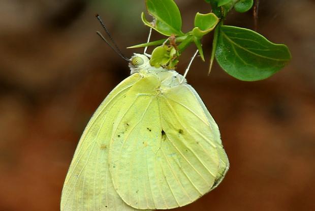 Catopsila pomona