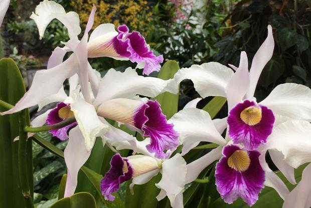Cattleya purpurata