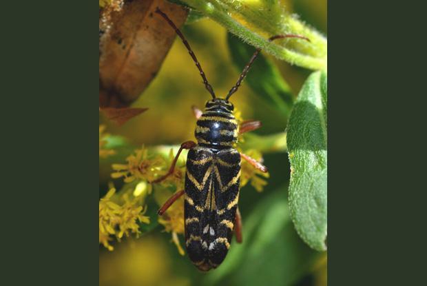 Cerambicidae, Québec, Canada.