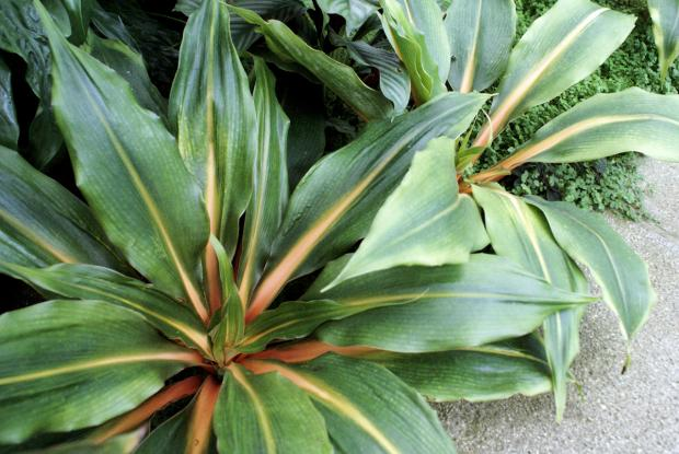 Chlorophytum orchidastrum 'Green Orange'