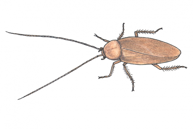 Blatte dans la maison pour une meilleure radication des blattes des zones infestes est - Insecte rampant maison ...