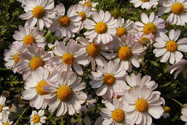 Chrysanthemum weyrichii