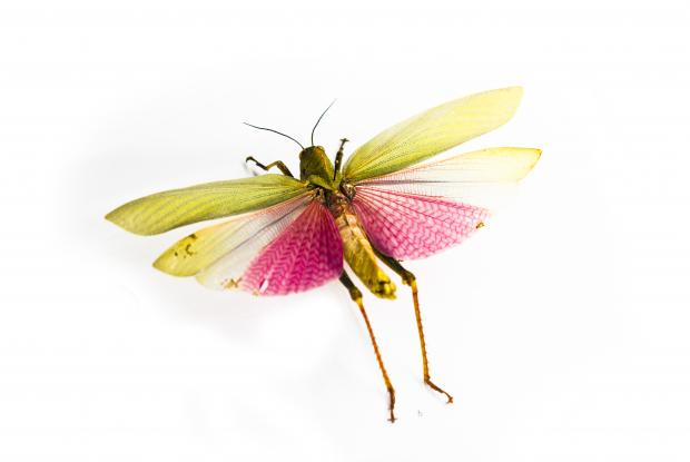 Mounted insect.