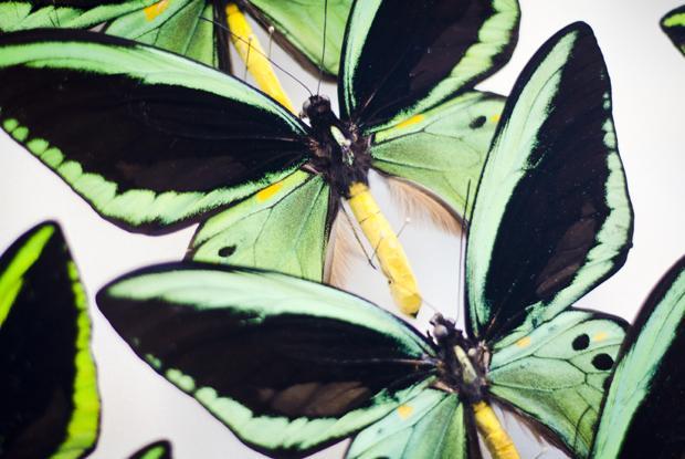 Collection de papillons naturalisés.