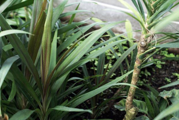 Cordyline espace pour la vie - Cordyline feuilles qui jaunissent ...