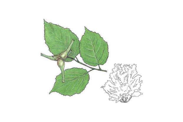 Corylus cornuta