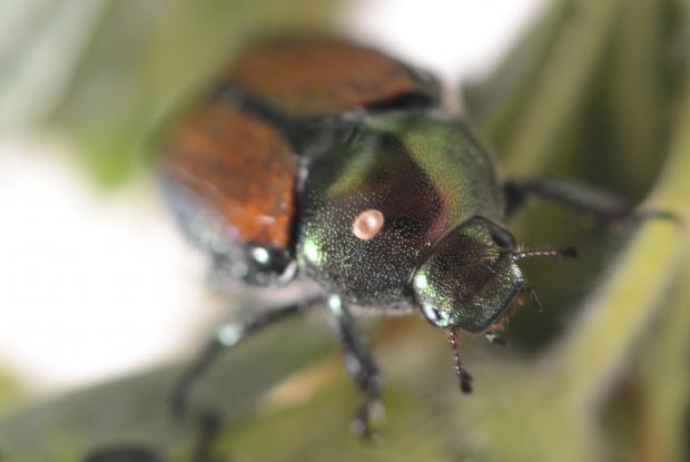 Parasitized Japanese beetle