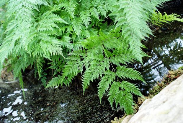Davallia solida var. fejeensis
