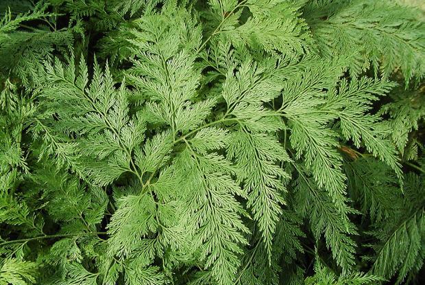 Davallia solida var. fejeensis 'Plumosa'