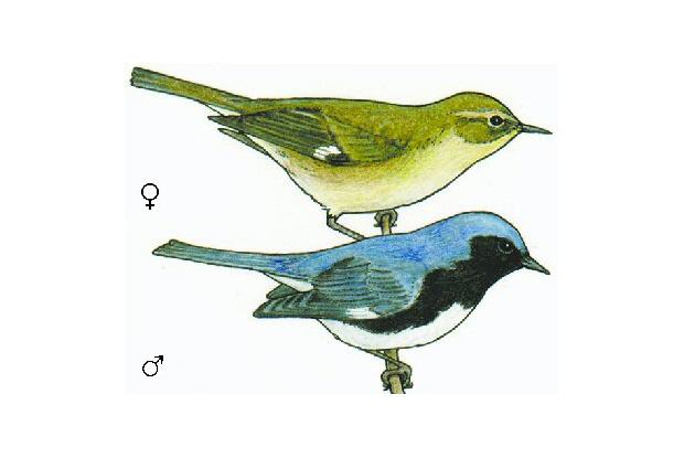 Dendroica caerulescens