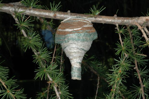 Dolichovespula maculata.