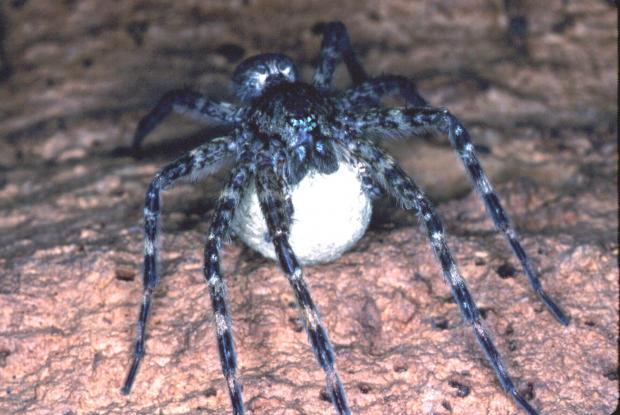 Dolomedes tenebrosus, Amérique du Nord.