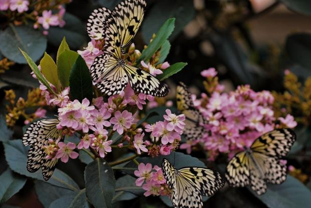 Papillons en liberté 2013 (Idea leucone)