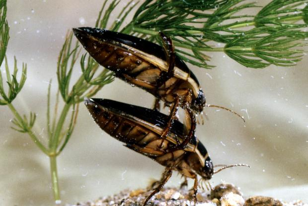 Dytiscidae, Québec, Canada.
