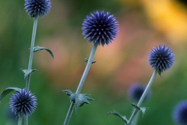 Echinops ritro 'Veitch's Blue'.