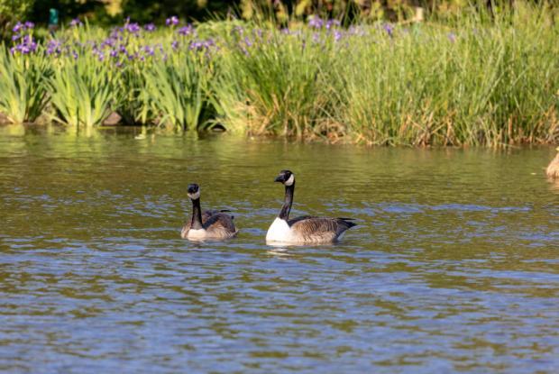 Bernaches sur l'étang