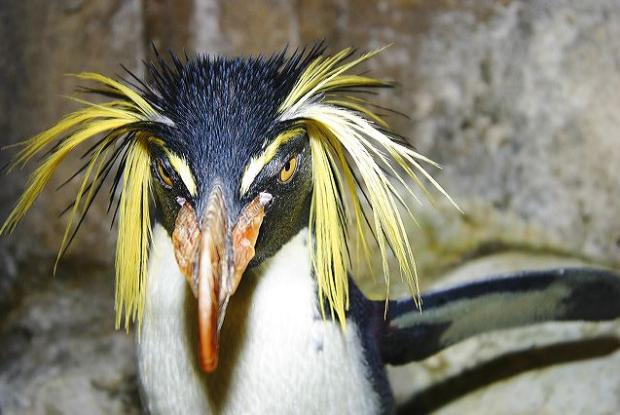 Rockhopper penguin (Eudyptes moseleyi).