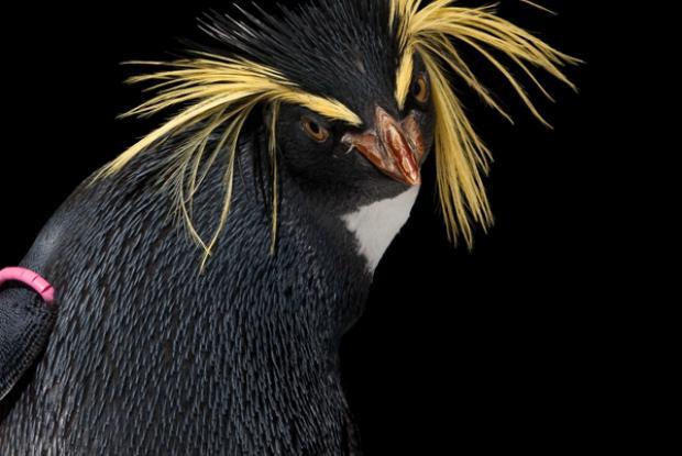 Gorfou sauteur (Eudyptes moseleyi).