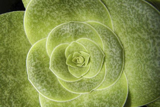 Euphorbia orbicularis