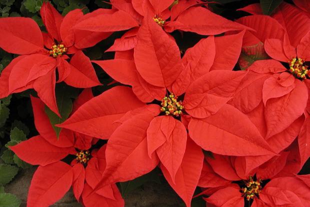 Euphorbia pulcherrima 'Gutbier V-17 Angelika Red'
