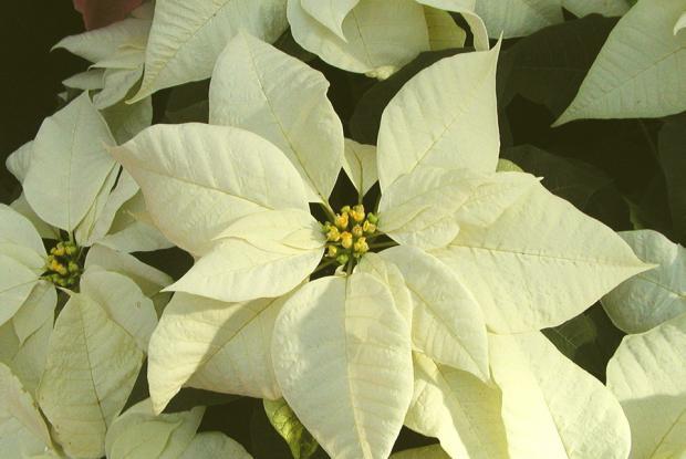 Euphorbia pulcherrima 'Snowcap White'.