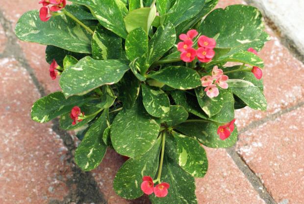 Euphorbia somona 'Starry Nights'