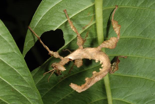 Extatosoma tiaratum, Australie.