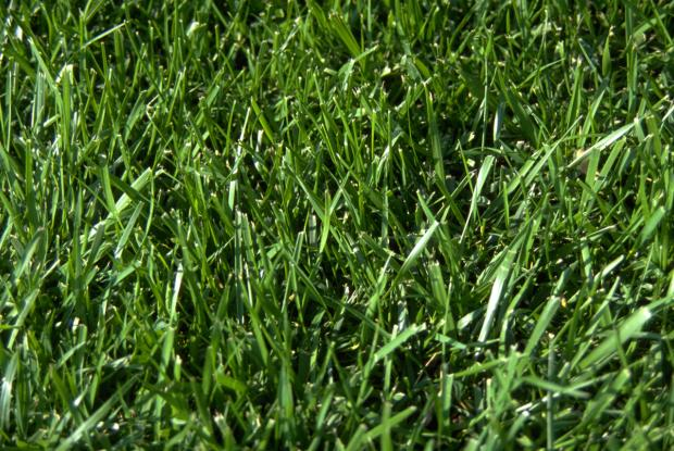 Guide to organic lawn care Space for life : festuca arundinacea jbm0030241 from espacepourlavie.ca size 620 x 415 jpeg 77kB