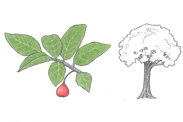 Ficus costaricana (Liebm.) Miq.