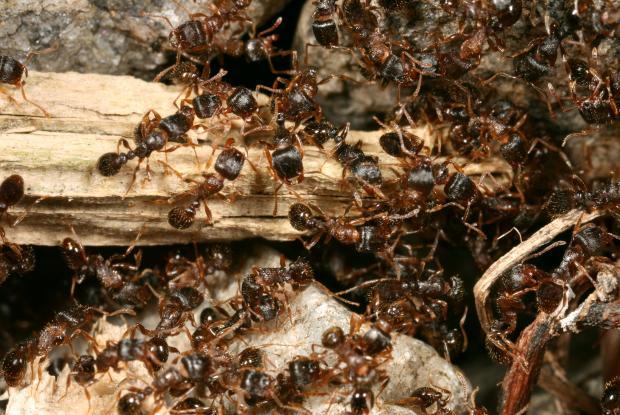 Formicidae, Québec, Canada.