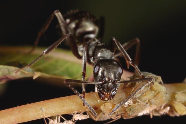 l importance cologique des fourmis espace pour la vie. Black Bedroom Furniture Sets. Home Design Ideas