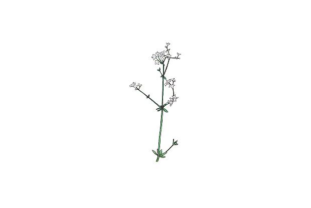 Galium spp.
