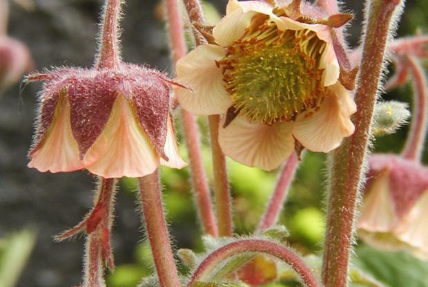 Geum rivale ssp. Islandicum