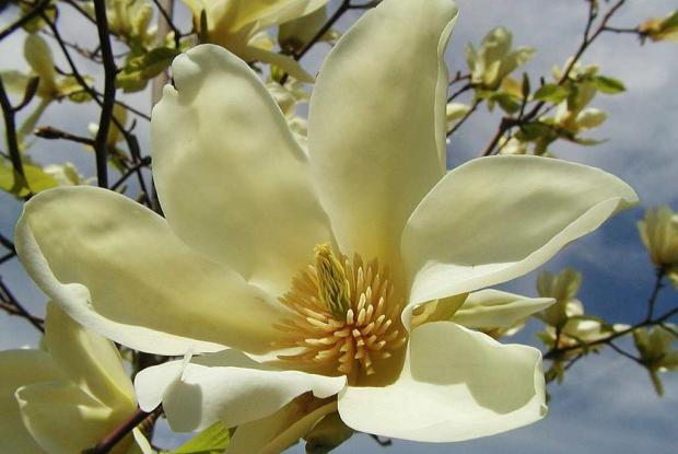 Magnolia acuminata 'Yellow Fever'