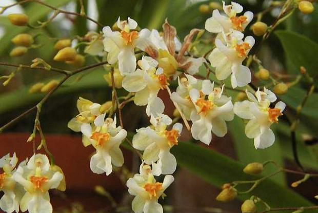 Oncidium Twinkle g. 'Fragrance Fantasy' SQ /JOGA
