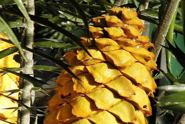 Encephalartos villosus, cone