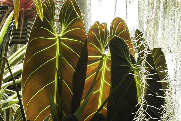 Philodendron melanochrysum and Tillandsia usneoides