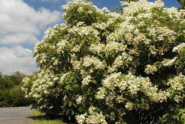 Taille des arbres et des arbustes ornementaux espace for Arbres decoratifs jardin