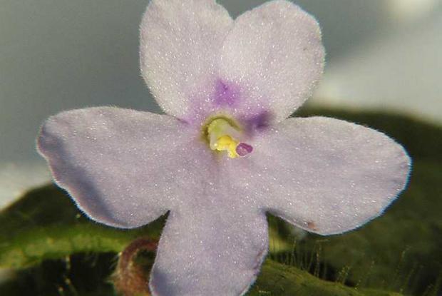 Insectes et maladies de la violette africaine espace for Violette africane