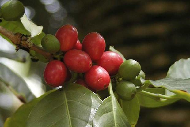 Coffea arabica cv.