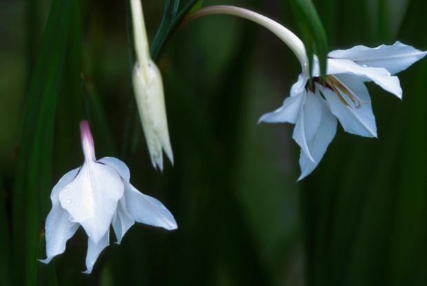 Gladiolus callianthus.