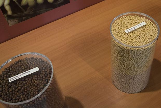 Soybean seeds in pots.