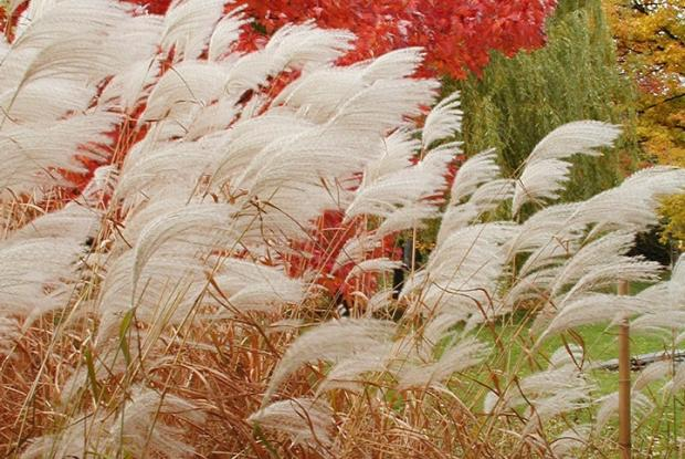 Ornamental grasses of the Japanese Garden in autumnal colours.