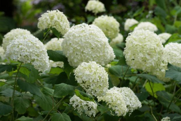 Taille de l 39 hydrang e espace pour la vie - Taille des hortensias en mars ...