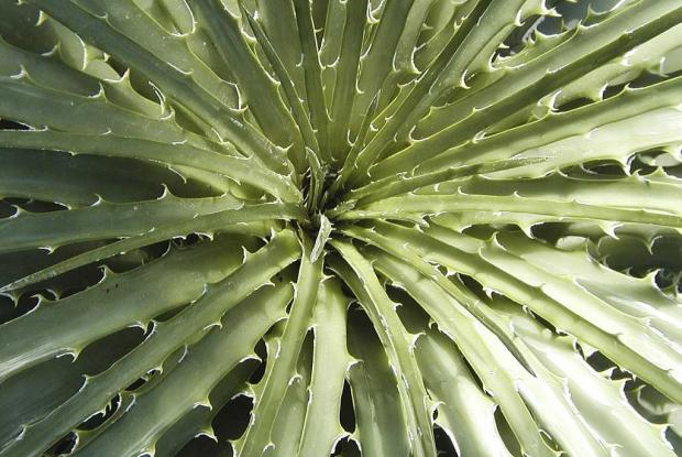 Hechtia glomerata