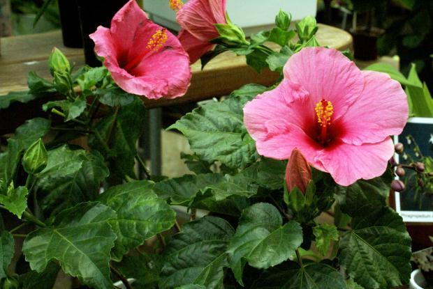 Hibiscus | Espace pour la vie