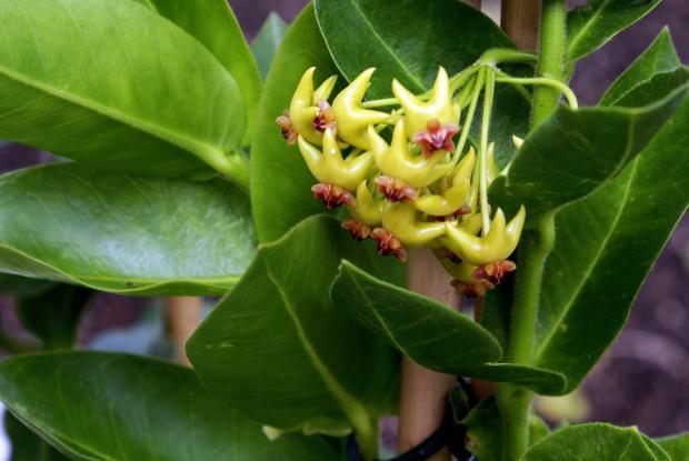 Hoya densiflora