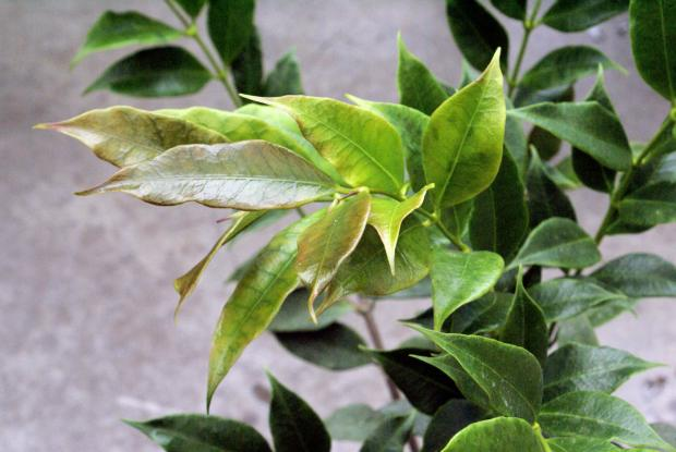 Hoya odorata