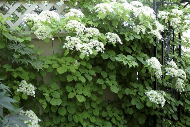 Hydrang e grimpante espace pour la vie - Ortensia rampicante petiolaris ...